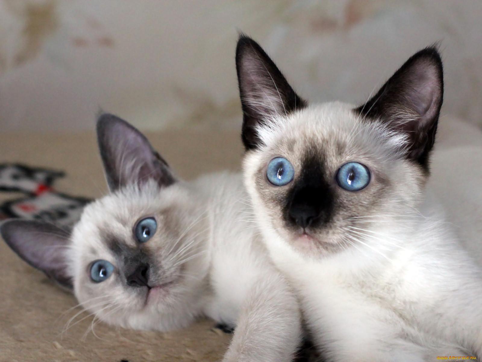 сиамские коты белые в картинках